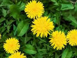 Health Benefits Of Dandelion - Health Perfecto