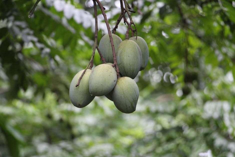 Raw Mango Health Benefits - Health Perfecto